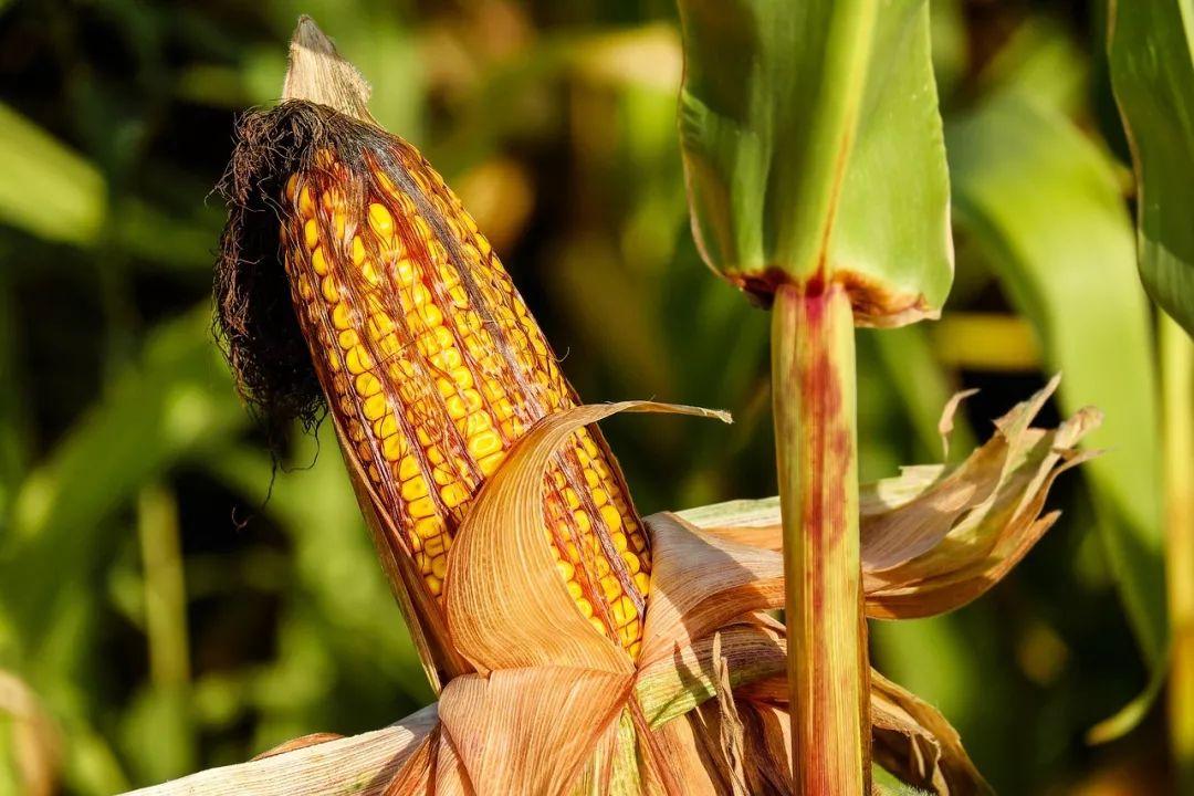"""哥伦布把玉米带回了欧洲,却导致了""""吸血鬼""""的出现?"""