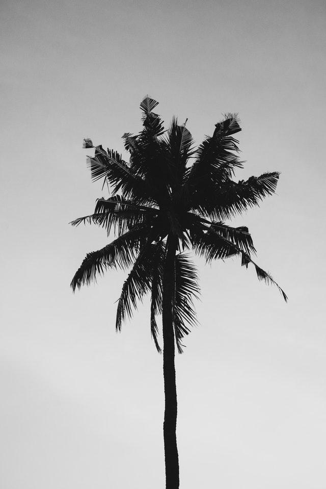coconut-tree-under-gray-sky-1122409.jpg
