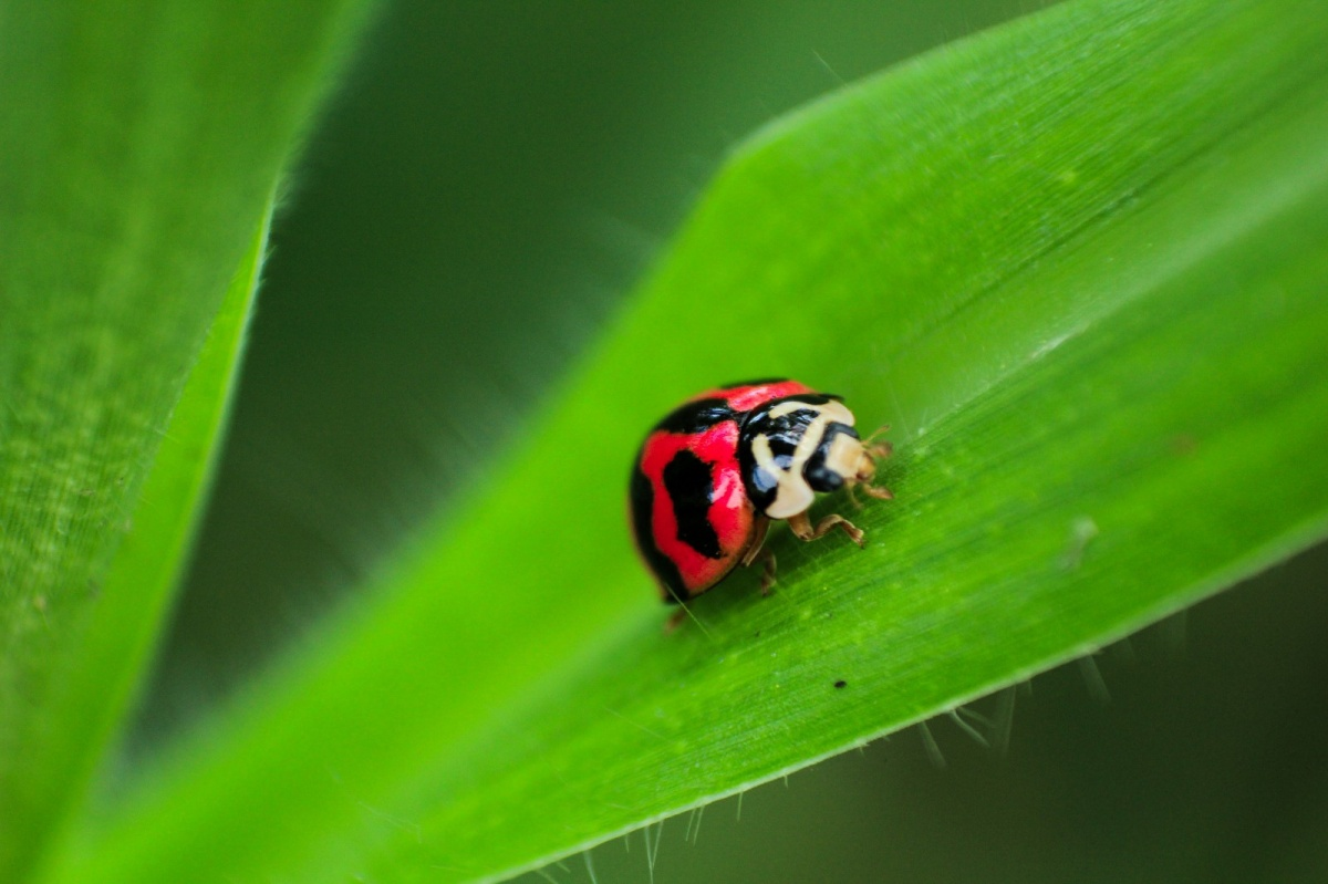 black-and-red-ladybug-on-green-leaf-128443.jpg