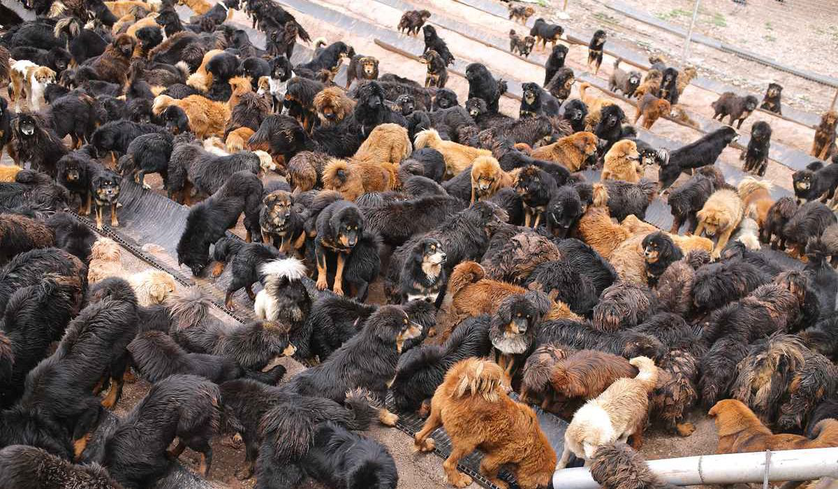 藏獒从一条换北京两套房,到成为流浪狗:泡沫是怎么破灭的?