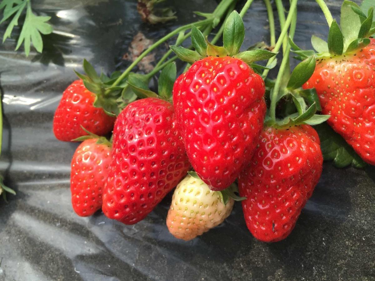 草莓图片..jpg