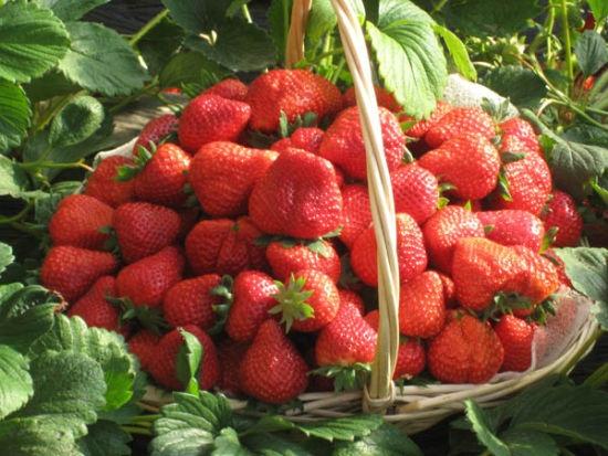 草莓一篮子.jpg