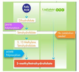 MTHFR,基因多态性,超级叶酸,叶酸,第四代