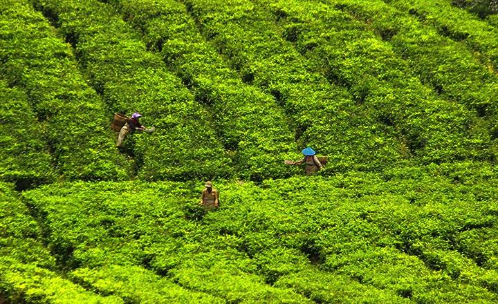 tea-pickers.jpg
