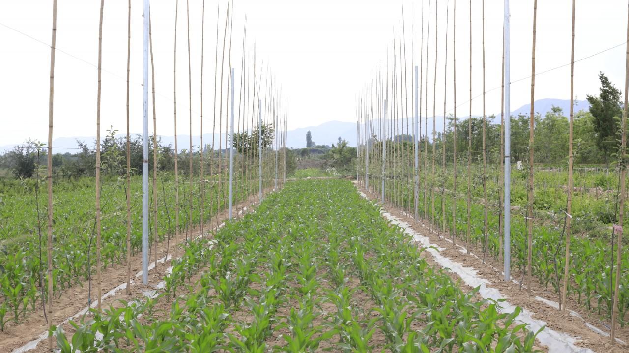 202006-绿油油的果园与果园中的玉米 (5).JPG