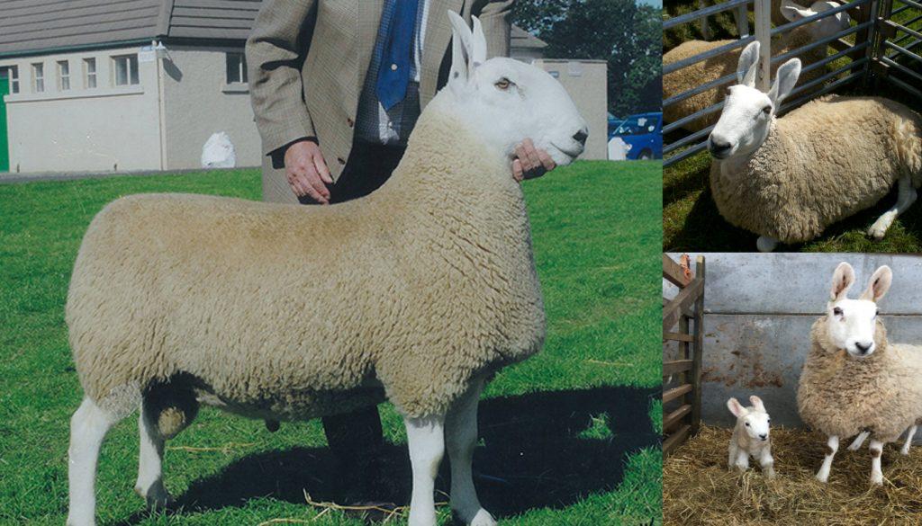 border-leicester-sheep-1024x585.jpg