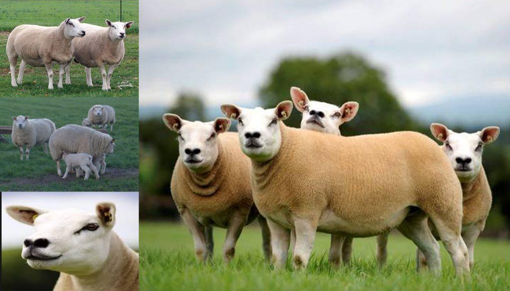 texel-sheep-1024x585.jpg