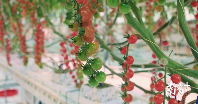 AI番茄.png