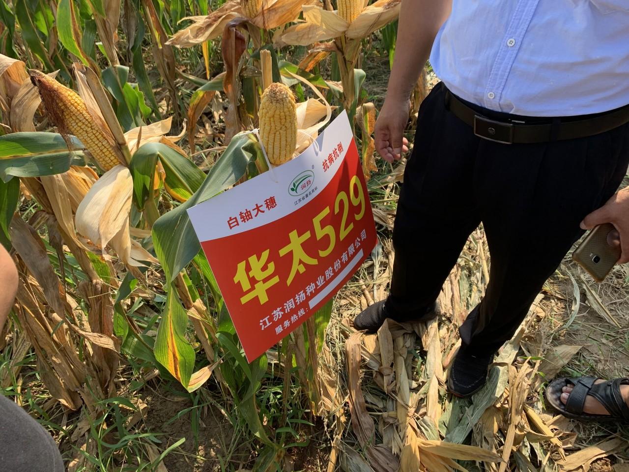 玉米61.jpg