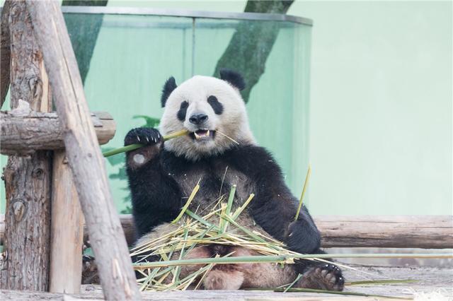 """大熊猫越狱_丹麦大熊猫清早翻过两米围墙""""越狱"""",因为被女朋友吓坏了 ..."""