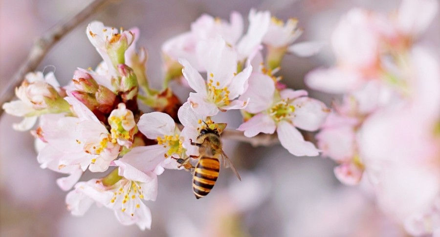 closeup-photo-of-honeybee-perched-on-pink-and-white-cluster-712193.jpg